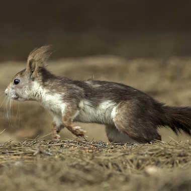 écureuil par loulou17