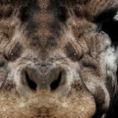 Girafe Mika Bipolaire par Oeildeprimate