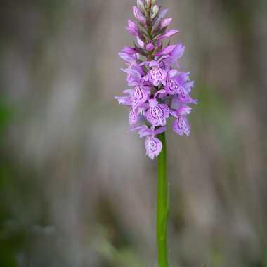 Orchidée sauvage par Guy07