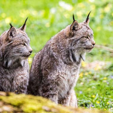 Lynx par dvandenabelle