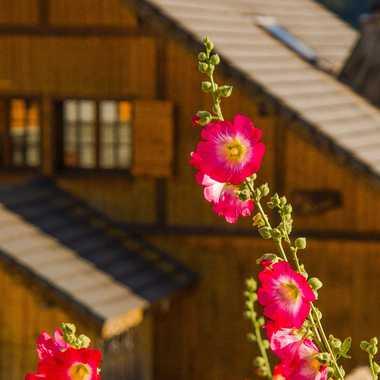 Fleurs en montagne  par brj01
