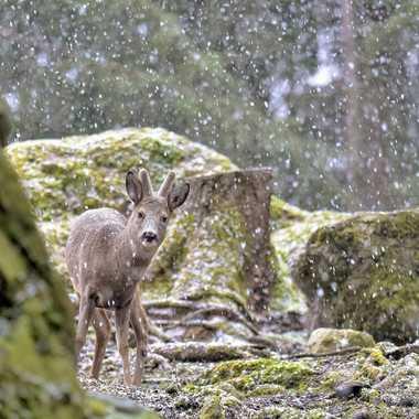 Chevreuil sous la neige  par Guy07