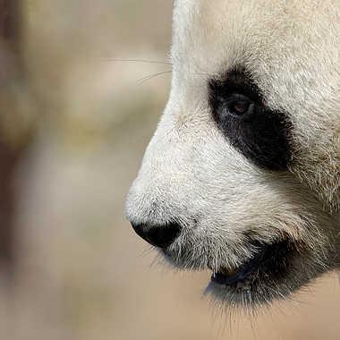 Panda est ton ami ... par Nikon78