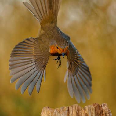 rouge gorge (atterrissage à pic) par Fafa
