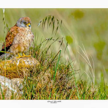 Faucon crecerellette par daniel13660