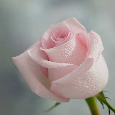 la rose par genevieve_3824