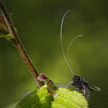 Adela verdoyante mâle... par Nikon78