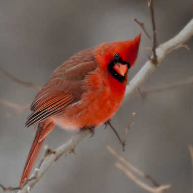 Cardinal mâle par ChristianF