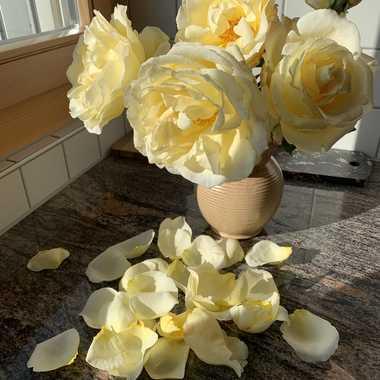 L'important, c'est la rose... par Maridan