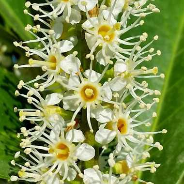 fleur de laurier  par brj01
