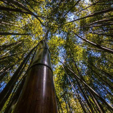 Forêt de bambou par Dav.sv