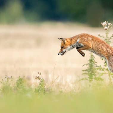 renard roux, red fox (Vulpes vulpes) par solivier
