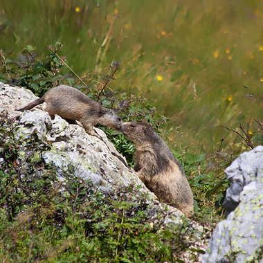 Le bisou des marmottes par Isabellefalconnet