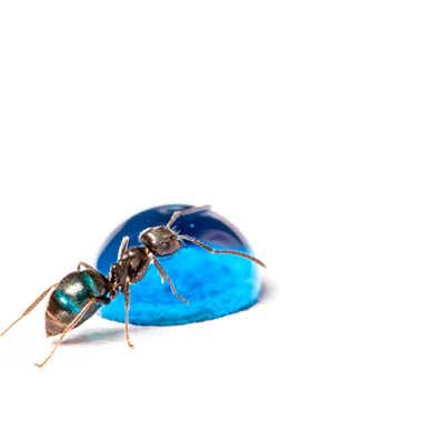 la fourmi bleue par Jeremy_7517