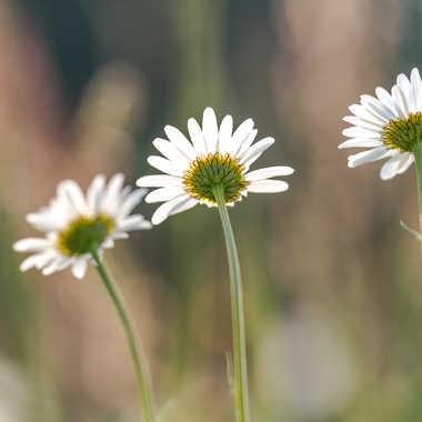 Les trois belles ! par HeleneA