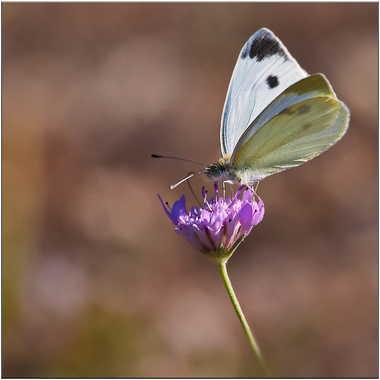 Papillon par Arobase