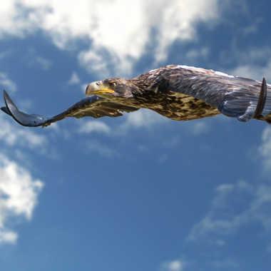Aigle royal en vol par Jimmy Galli