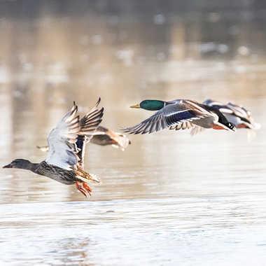 Canards colvert sur la Saône par patrick69220