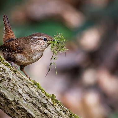Préparation de nid par Nikon78