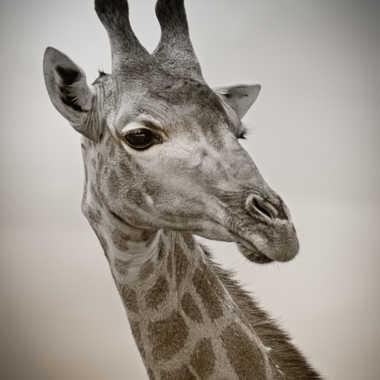 Portrait de girafe par patrick69220