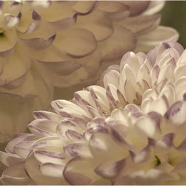 chrysantheme3 par genevieve_3824