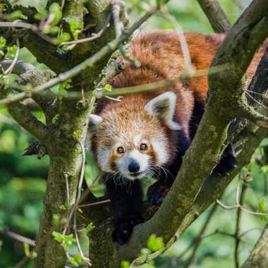 Panda roux par Jeppesen