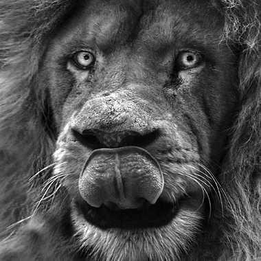 Albert par lynx
