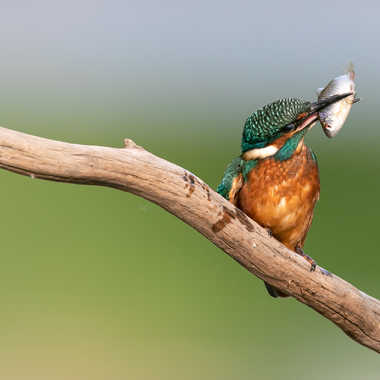 Martin pêcheur par patouphoto