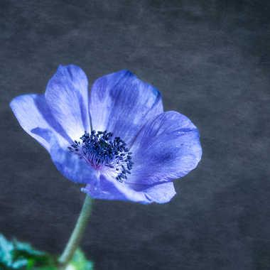 anémone bleue par genevieve_3824