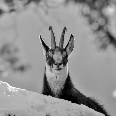 Monsieur chamois  par Guy07