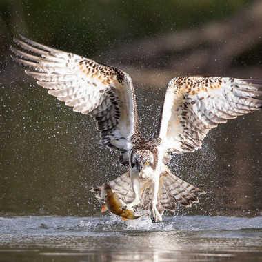 Balbuzard pêcheur avec une perche par patouphoto