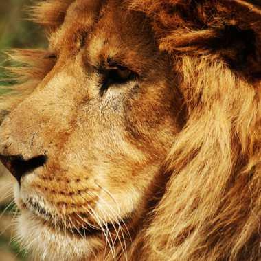 Le roi des animaux  par Ephemere