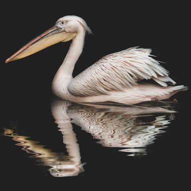 Les Pelicans s'en font par james_1068