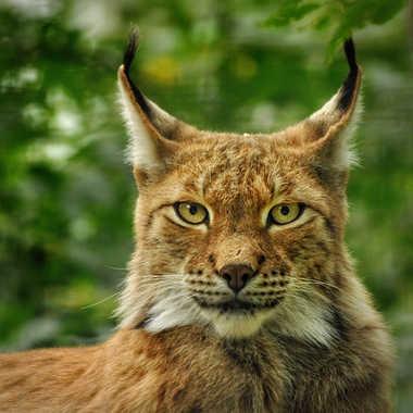 Zieux  de lynx  par Nimo