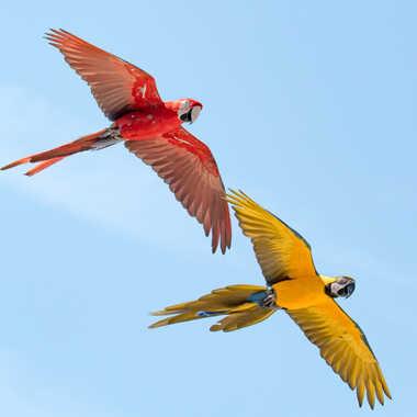 Aras rouge et jaune par Philipounien