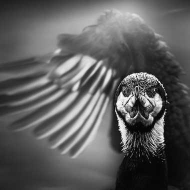Grand cormoran par Thierry Rossier