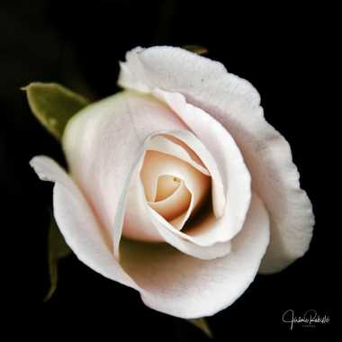 Rose blanche par Jerome Rabille