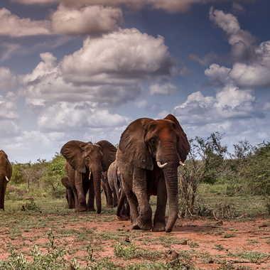La marche des éléphants par patrick69220