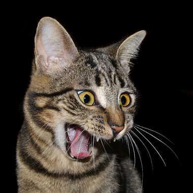 Colère par lynx