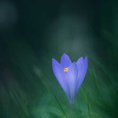 Crocus par Anonymous