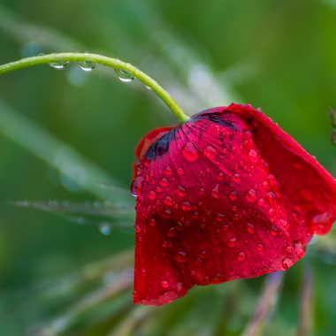 Coquelicot après la pluie par Dav.sv