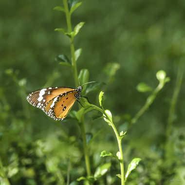 Papillon Thai par Buissem