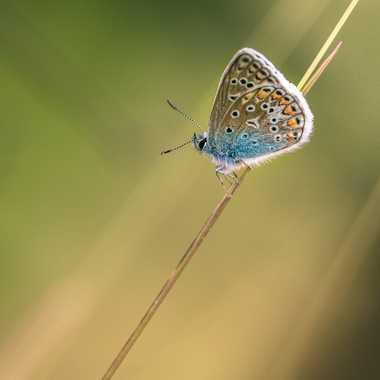 papillon azuré par Oxydo71