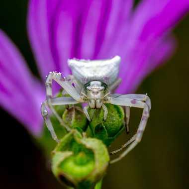 Frontal Spider par FredoRoiDuVelo