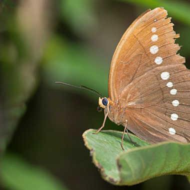 Papillon d'Asie par patrick69220