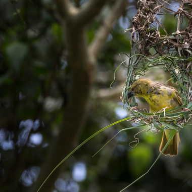 Construction du nid par patrick69220