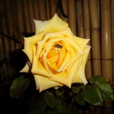 rose & mouche par baghzaf