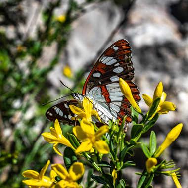Papillon cuivre sur jaune par Nico_Deumille