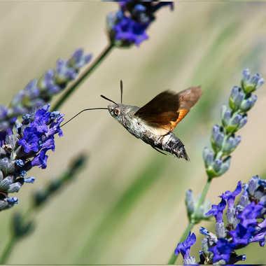 Sphinx colibri par Nyaka36