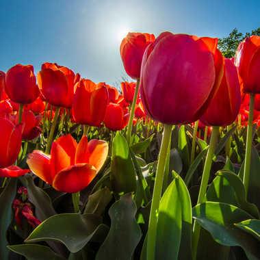 Au cœur des tulipes  par Dav.sv